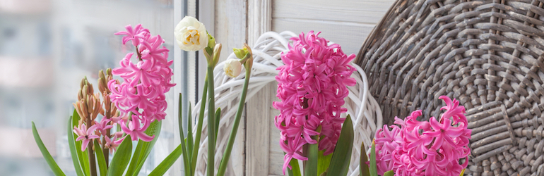 pink and white hyacinths growing indoors
