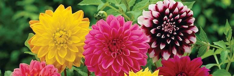 Dahlia variabilis 'Giant Hybrids Mixed' by Thompson & Morgan