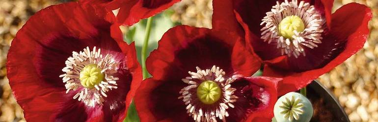 Poppy 'Cherry Glow' by Thompson & Morgan - available now