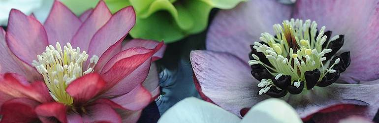 Hellebore 'Breeder's Mix' from Thompson & Morgan