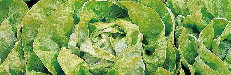 Lettuce 'Artic King' (Butterhead) from Thompson & Morgan