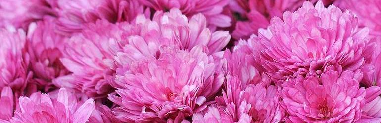 Chrysanthemum x hortorum 'Anastasia' from Thompson & Morgan