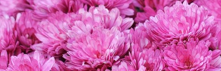 What-to-plant-September-flowers-sow-grow-chrysanthemums — Chrysanthemum x hortorum 'Anastasia' from Thompson & Morgan