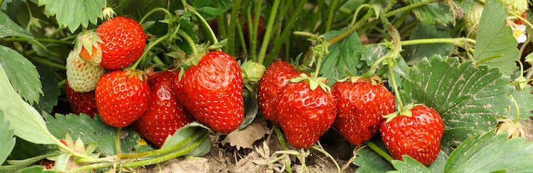 strawberry plants bearing fruit on a strawberry bush - strawberry plants are available to buy on Thompson & Morgan