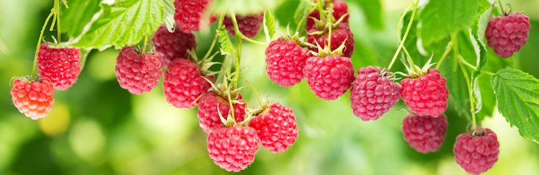 raspberry bush bearing fruit with green background. Raspberry canes are available to buy from Thompson & Morgan