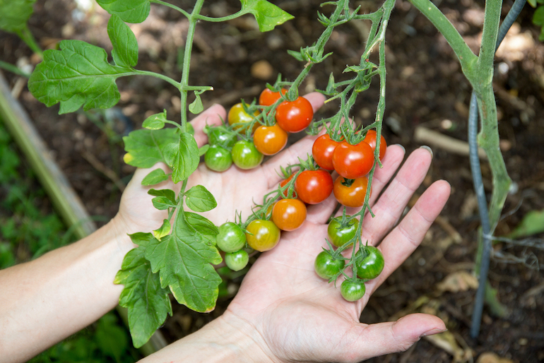 hands cupping cherry tomatoes on vine