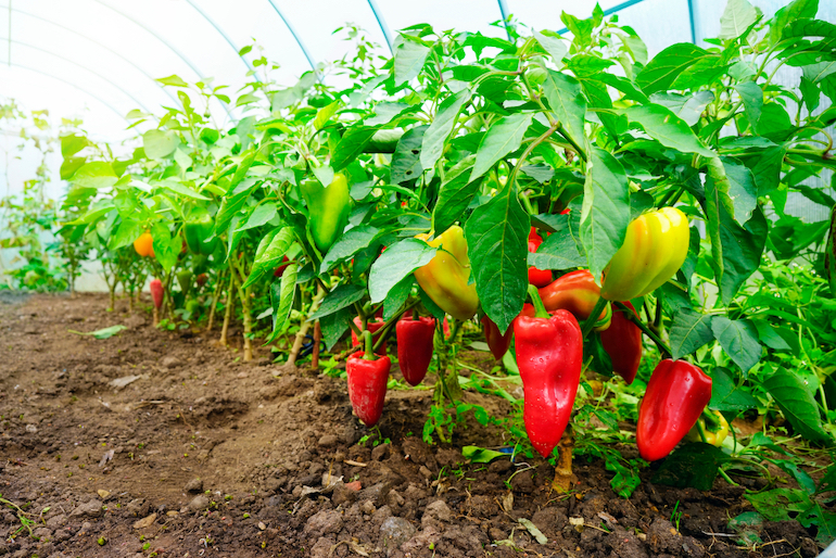 chillis in a greenhouse