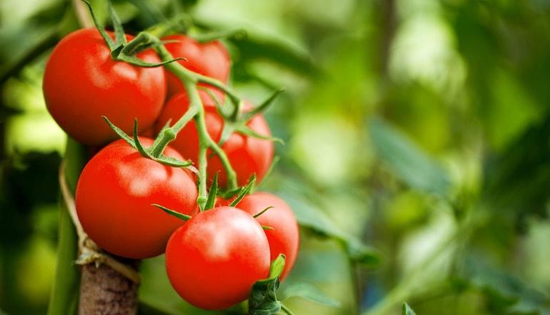 closeup of tomato plants