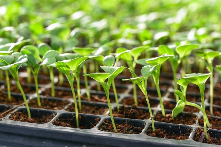 lettuce seedlings in a cultivation tray
