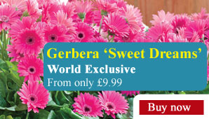 Gerbera 'Sweet Dreams' - Part of the Alan Titchmarsh Collection