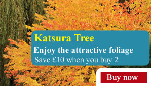Katsura Tree - Part of the Alan Titchmarsh Collection