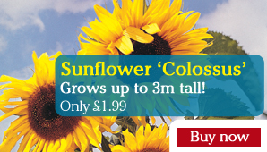 Sunflower 'Colossus' - Part of the Alan Titchmarsh Collection