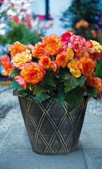 pre-planted Begonia