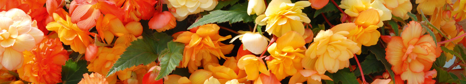 How to Plant Begonia Tubers Video