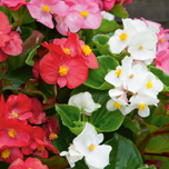 Begonia Lotto Mixed