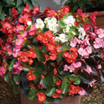 Begonia Organdy Mixed