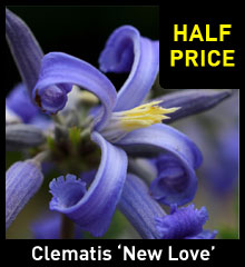 Clematis 'New Love'