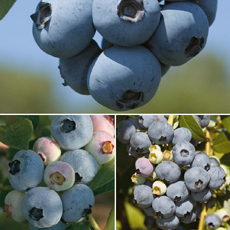 Blueberry Full Season Collection