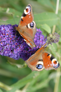 peacock butterflies on buddleja
