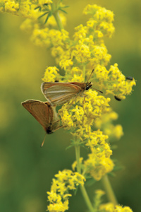 butterflies feeding on lady's bedstraw