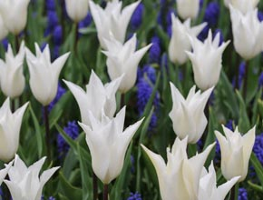 Tulip 'White' and Muscari 'Blue' Mix