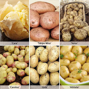Blight Resistant Potato Collection