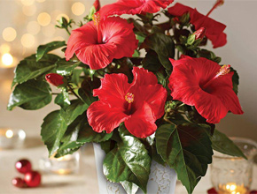 Hibiscus 'Festive Flare up to 40% off'