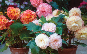 Begonia 'Bumper Collection'