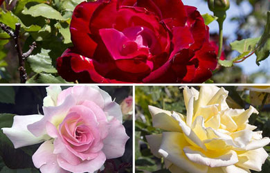 Rose 'Breeder's Choice Collection'