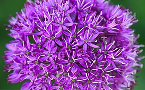 FREE* Cottage Garden Alliums