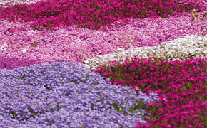 Creeping Phlox Collection