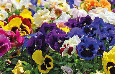 Pansy Summertime Mix