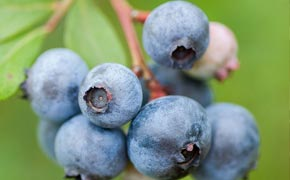 FREE* Blueberries & Fertiliser