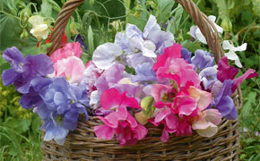 Sweet Pea Sweet Dreams Mixed