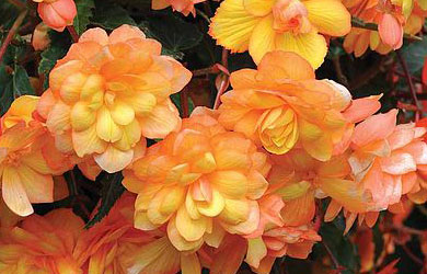 Begonia 'Apricot Shades Improved'