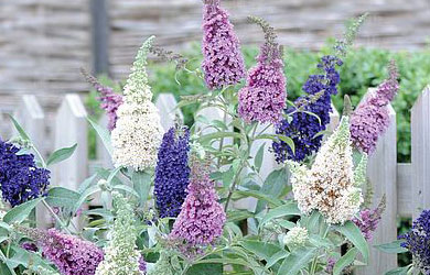 Buddleja 'Buzz 3 in 1'