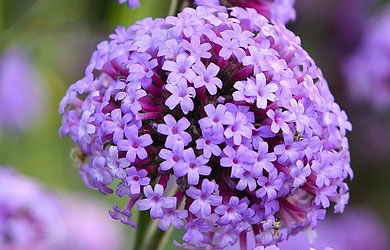 Verbena 'Royal Dreams'