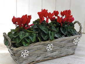Cyclamen Basket up to 40% off