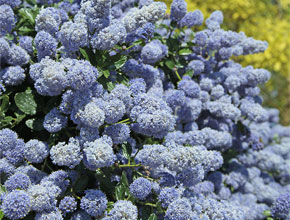 Ceanothus - vibrant blue blossoms in late spring