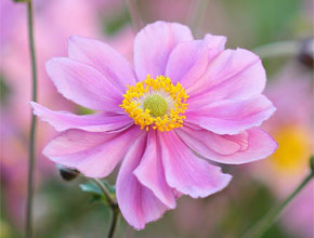 Japanese Anemone - late summer flowering beauty