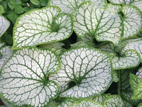 A Striking Foliage Plant - perfect for shade