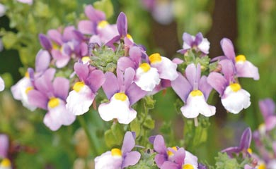 Nemesia 'Seventh Heaven'