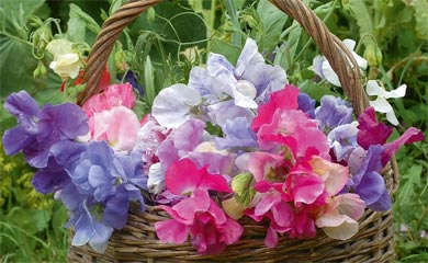 Sweet Pea Plug Plants