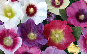 Colourful Cottage Garden Perennials