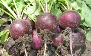 Gorgeous purple skinned radish
