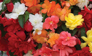 Begonia 'Illumination Mixed'
