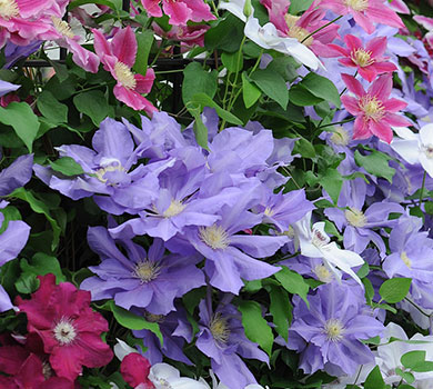 clematis-hydrangea-for-pdf