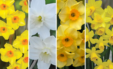 Narcissus Dwarf Collection