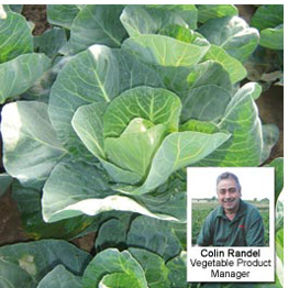 Cabbage Jewel (Winter) - Recommended by Colin Randel, Vegetable Product Manager