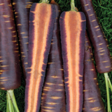 Carrot Purple Haze